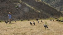 Yaylalarda artık koyun yerine hindi sürüleri