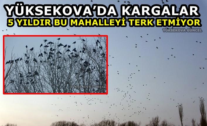Yüksekova'da binlerce karga 5 yıldır bu mahalleyi terk etmiyor