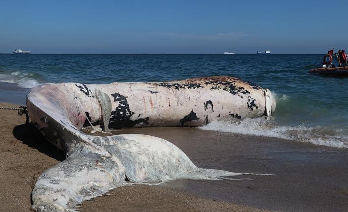 Sahile çıkarılan dev balina görenleri şaşkına çevirdi