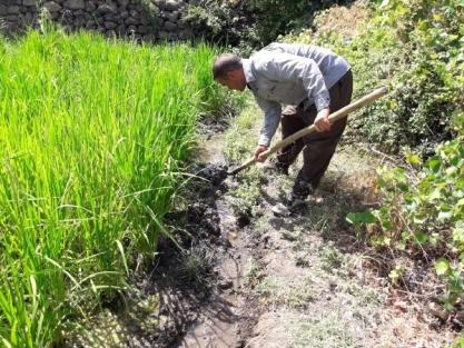 Çukurca'da Yaban Domuzları Pirinç Tarlalarına Zarar Veriyor
