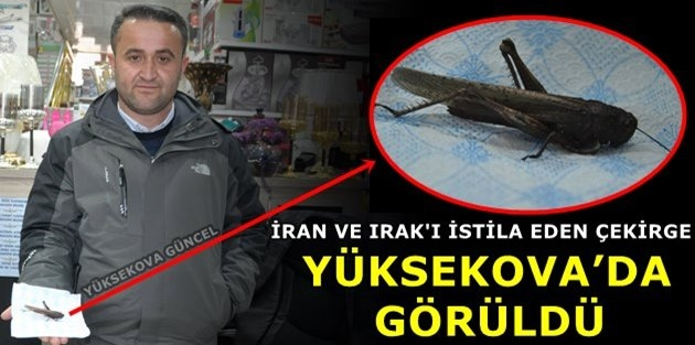 İran Ve Irak'ı İstila Eden Çekirge Yüksekova'da Görüldü