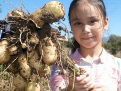 Patatesin saça faydaları neler?
