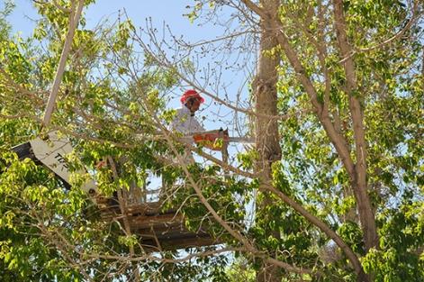 Polenli Kavak Ağaçlarının Kesimi Başladı