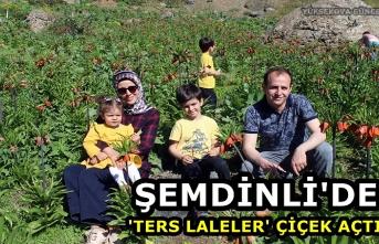Şemdinli'de 'Ters Laleler' Çiçek Açtı