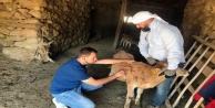 Yüksekova'da Büyükbaş Hayvanlarda Hastalık Taraması