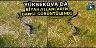 Yüksekova'da Siyah Yılanların Dansı Görüntülendi