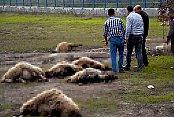 Arazide otlarken rahatsızlanan 31 koyun telef oldu