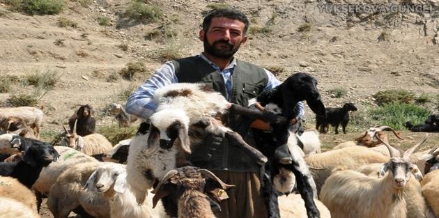 Yüksekova..! İran'dan gelip 3 bin 200 TL karşılığında çobanlık yapıyor