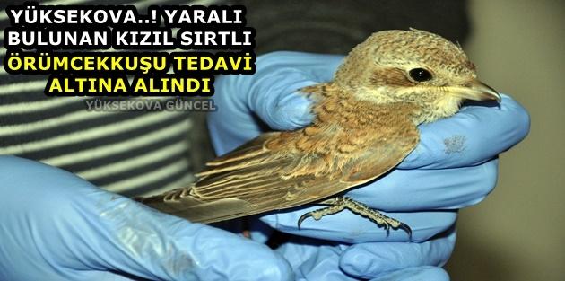 Yüksekova..! Yaralı bulunan kızıl sırtlı örümcekkuşu tedavi altına alındı