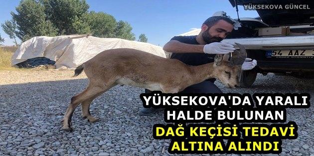 Yüksekova: Yaralı Dağ Keçisi Tedavi Altına Alındı