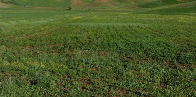 Yüksekova'da ekilen Aspir tohumu çiçeklenmeye başladı