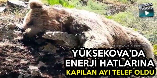 Yüksekova'da Elektrik Akımına Kapılan Ayı Telef Oldu