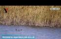 Yüksekova'da Yaban Ördeklerin Güzelliği