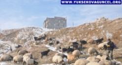 Yüksekova: Karlı Yamaçlarda Koyun Otlatma Çilesi