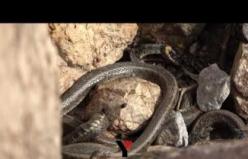 Yüksekova'da 'Brezilya yılan adası'nı andıran görüntüler