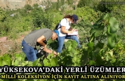 Yüksekova'daki Yerli Üzümler Milli Koleksiyon İçin Kayıt Altına Alınıyor