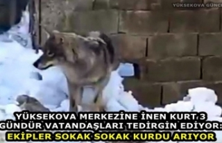 Yüksekova Merkezine İnen Kurt 3 Gündür Vatandaşları...