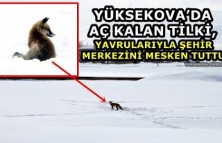 Yüksekova'da Aç Kalan Tilki, Yavrularıyla Şehir...