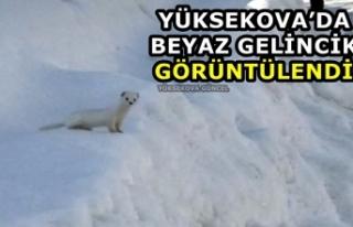 Yüksekova'da beyaz gelincik görüntülendi