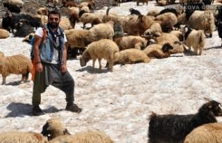 Yüksekova'da koyunlar sıcak havada karlı yamaçlarda...