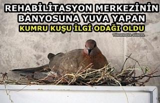 Yüksekova: Banyoya yuva yapan kumru kuşu ilgi odağı...