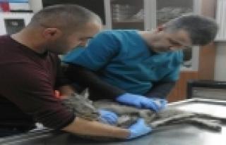 Yaralı dağ keçisi tedavi altına alındı