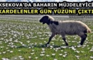 Yüksekova'da Baharın Müjdeleyicisi Kardelenler...