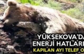 Yüksekova'da Elektrik Akımına Kapılan Ayı Telef...
