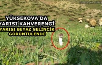Yüksekova'da Yarısı Kahverengi, Yarısı Beyaz Gelincik Görüntülendi