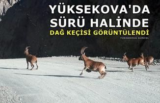Yüksekova'da Sürü Halinde Dağ Keçisi Görüntülendi