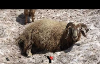 Yüksekova'da koyunlar sıcak havada karlı yamaçlarda serinliyor