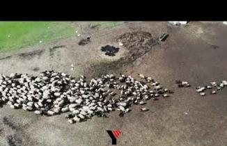 Yüksekova'da kuzuların anneleriyle buluşması renkli görüntüler oluşturuyor