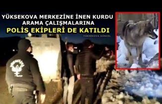 Yüksekova Merkezine İnen Kurdu Arama Çalışmalarına Polis Ekipleri De Katıldı